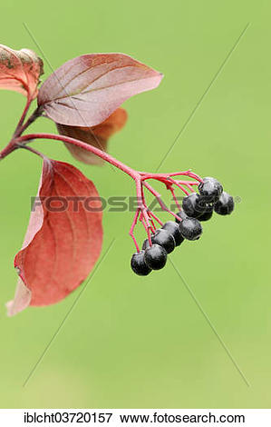 "Picture of ""Common Dogwood (Cornus sanguinea), branch with fruits."