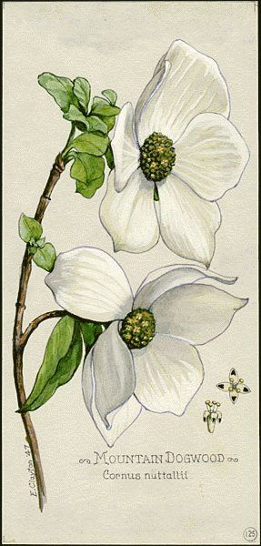 1000+ ideas about Dogwood Flowers on Pinterest.