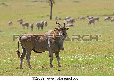 Stock Photograph of Common Eland / Taurotragus oryx 152089.