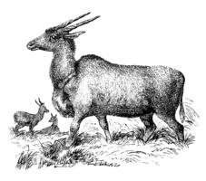 Antique Illustration of Common Eland (taurotragus Oryx) stock.