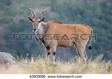 Stock Image of Eland antelope k0503085.