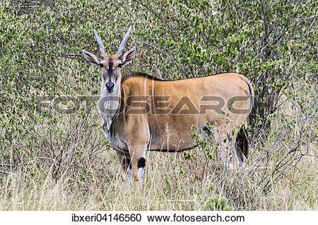 Stock Photography of Common eland (Taurotragus oryx), Masai Mara.