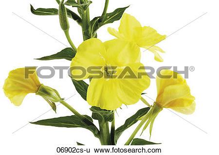 Stock Images of Evening primrose, close.