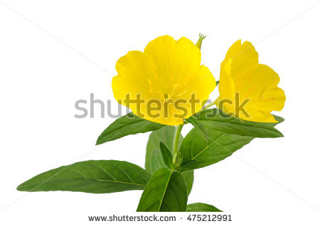 Evening Primrose Flower Stock Photos, Royalty.