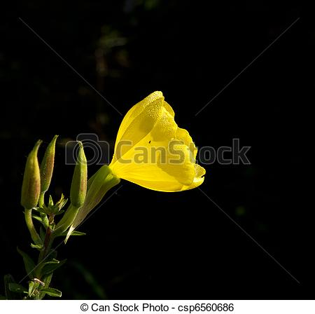 Stock Image of Common Evening Primrose flower with dew in sunlight.