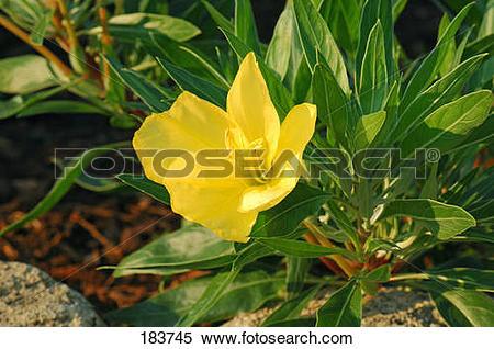 Stock Image of Common Evening Primerose (Oenothera biennis.