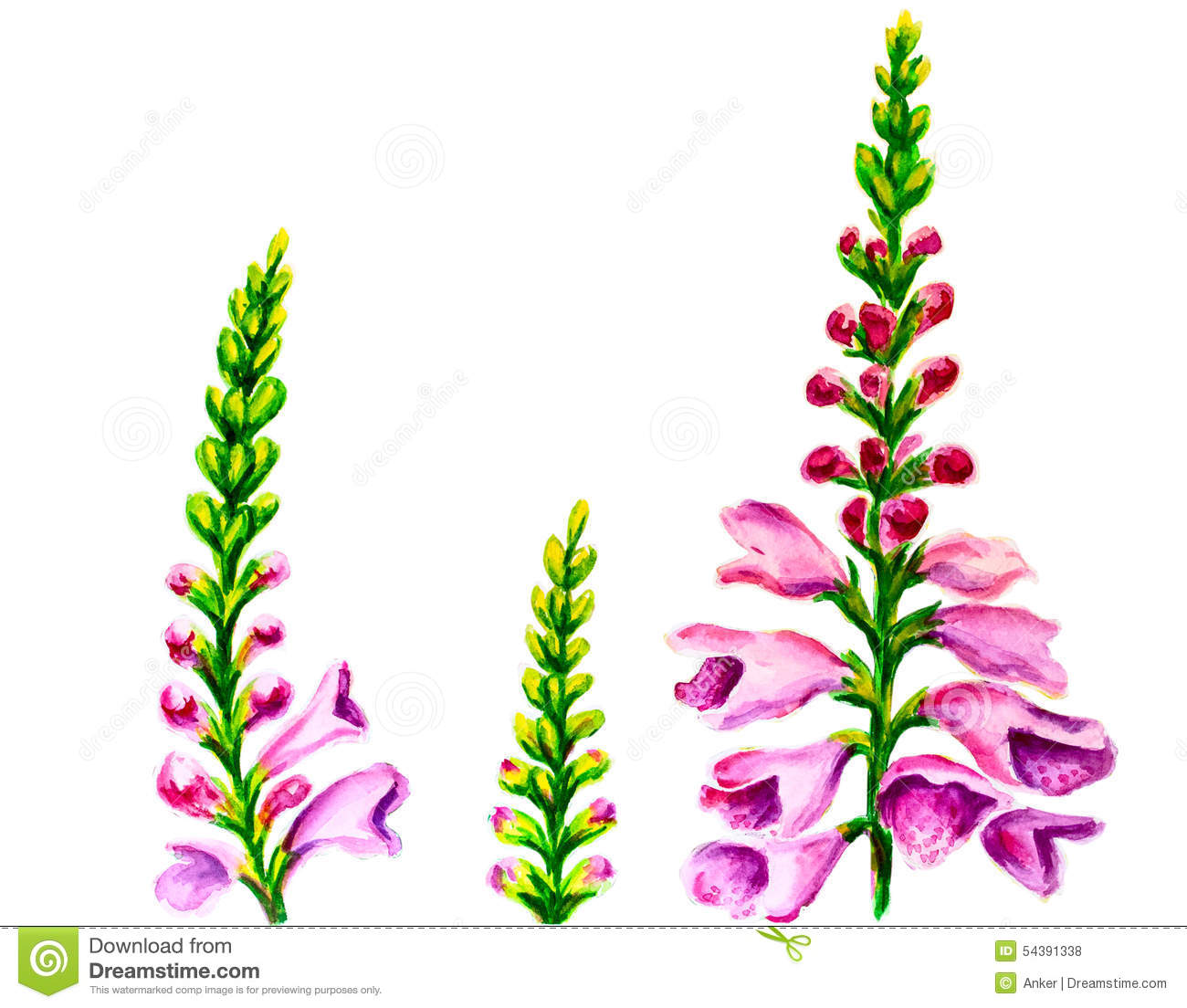 Foxglove Stock Illustrations.