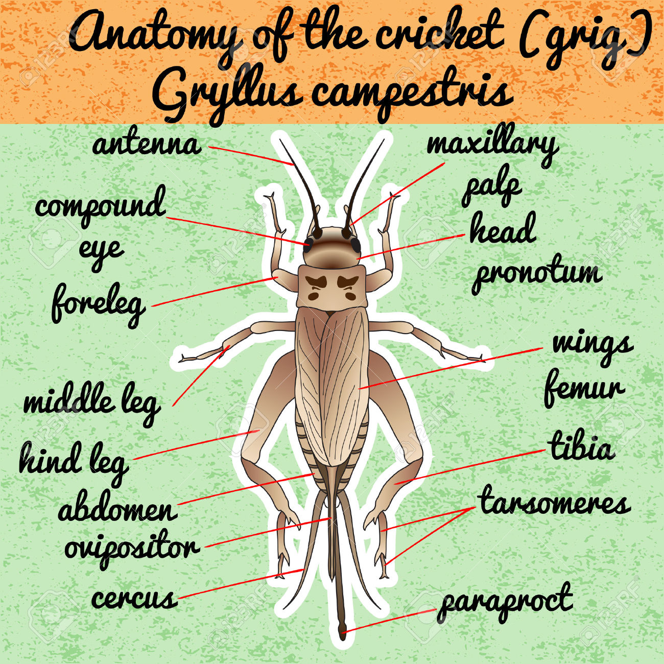Stick insect anatomy