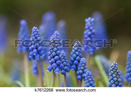 Pictures of Common grape hyacinth k7612268.