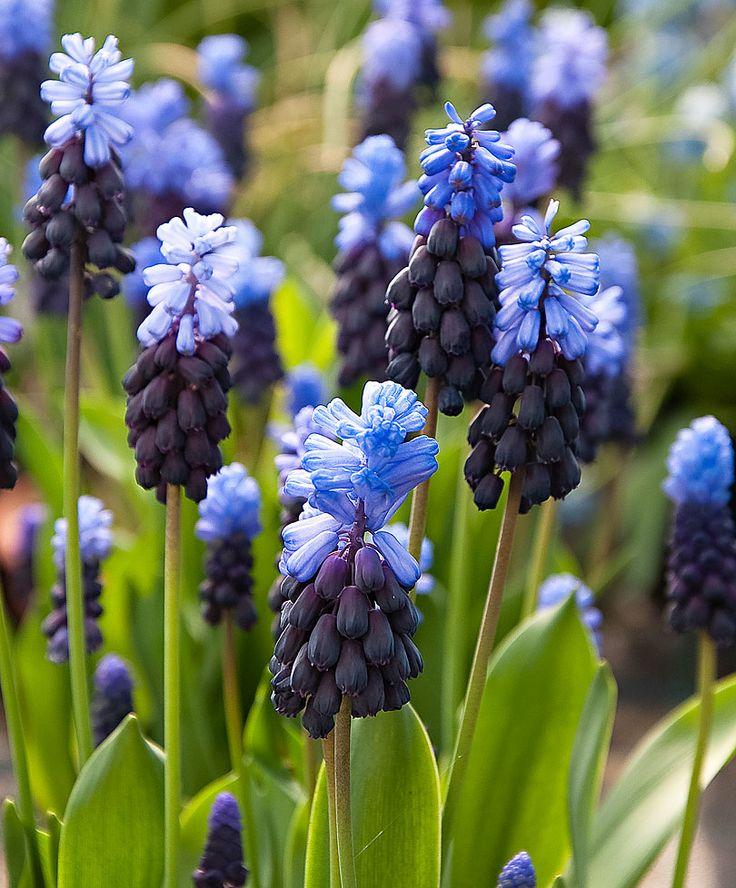 1000+ ideas about Grape Hyacinth Flowers on Pinterest.