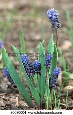 Stock Photo of DEU, 2002: Grape Hyacinth (Muscari latifolium.