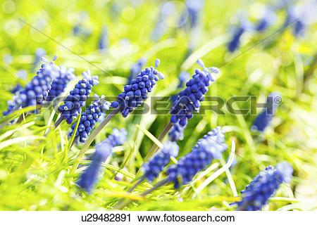 Stock Photography of Grape hyacinth flowers u29482891.