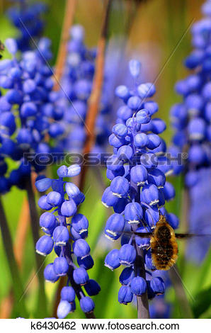 Stock Photo of Large bee fly at grape hyacinths k6430462.