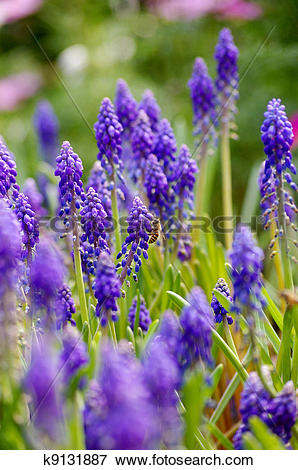 Picture of Grape hyacinth with bee in spring k9131887.