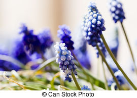 Pictures of Common grape hyacinth csp7612268.