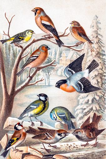 European Greenfinch Clip Art, Vector Images & Illustrations.