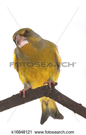 Stock Photography of Greenfinch k16848121.