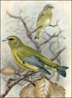 Free Greenfinch Clipart.