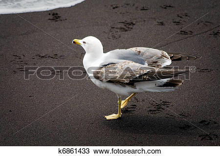 Stock Photo of Common Gull (larus canus) juvenile on a beach in.