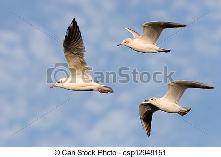 Stock Images of Flying Common Gull (Larus canus) csp12948151.