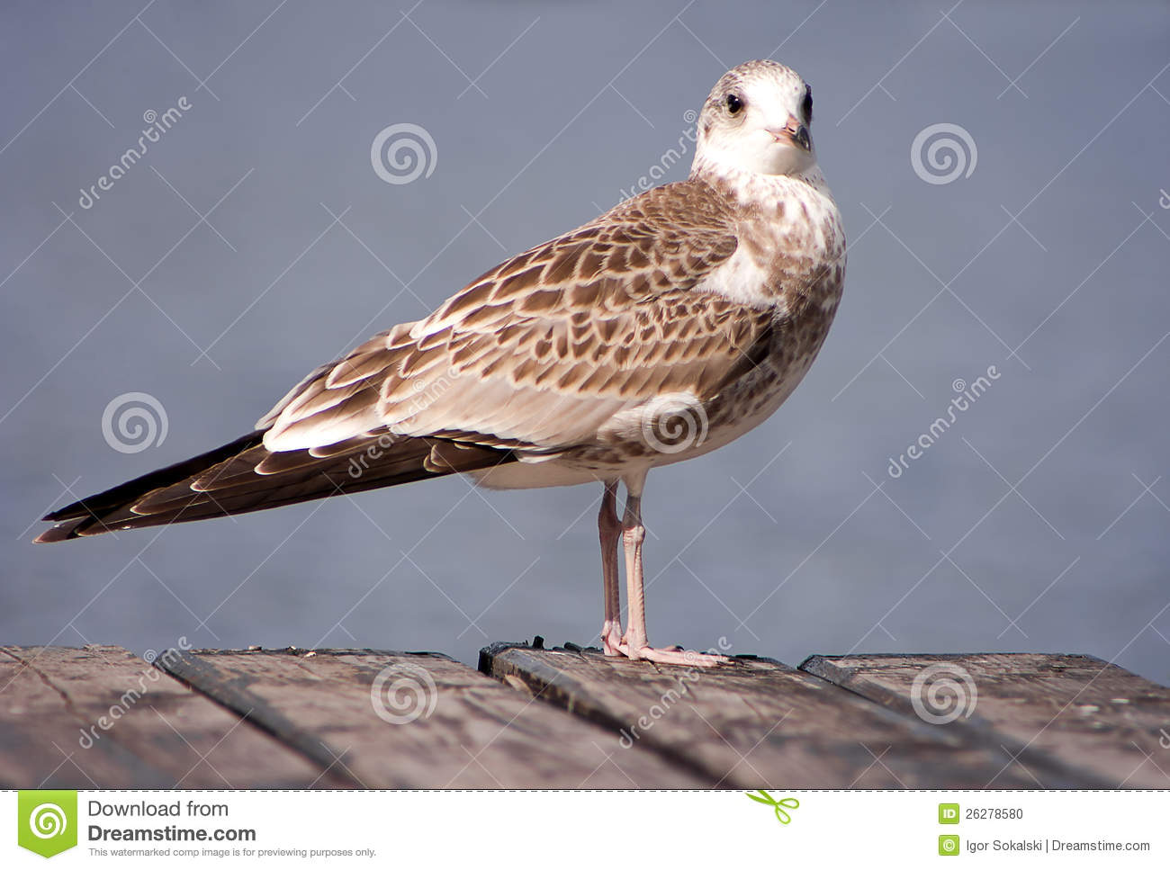 Young Common Gull Stock Photo.