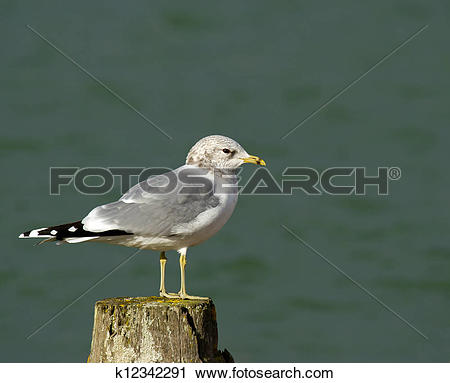 Stock Photography of Common Gull k12342291.