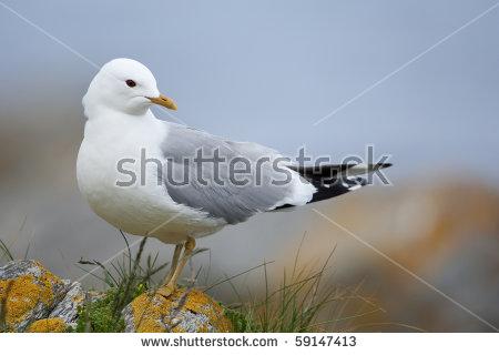 Common Gull Stock Photos, Royalty.