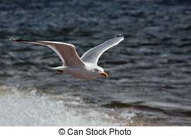 Stock Images of Common Gull.