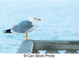 Pictures of Common Gull.