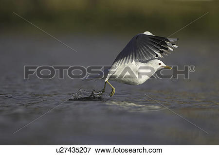 Picture of Common Gull (Larus canus) foraging in water and taking.