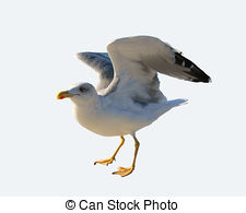 Common gull Illustrations and Clip Art. 11 Common gull royalty.