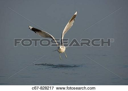 Picture of Common Gull Larus canus Winter Norfolk c67.