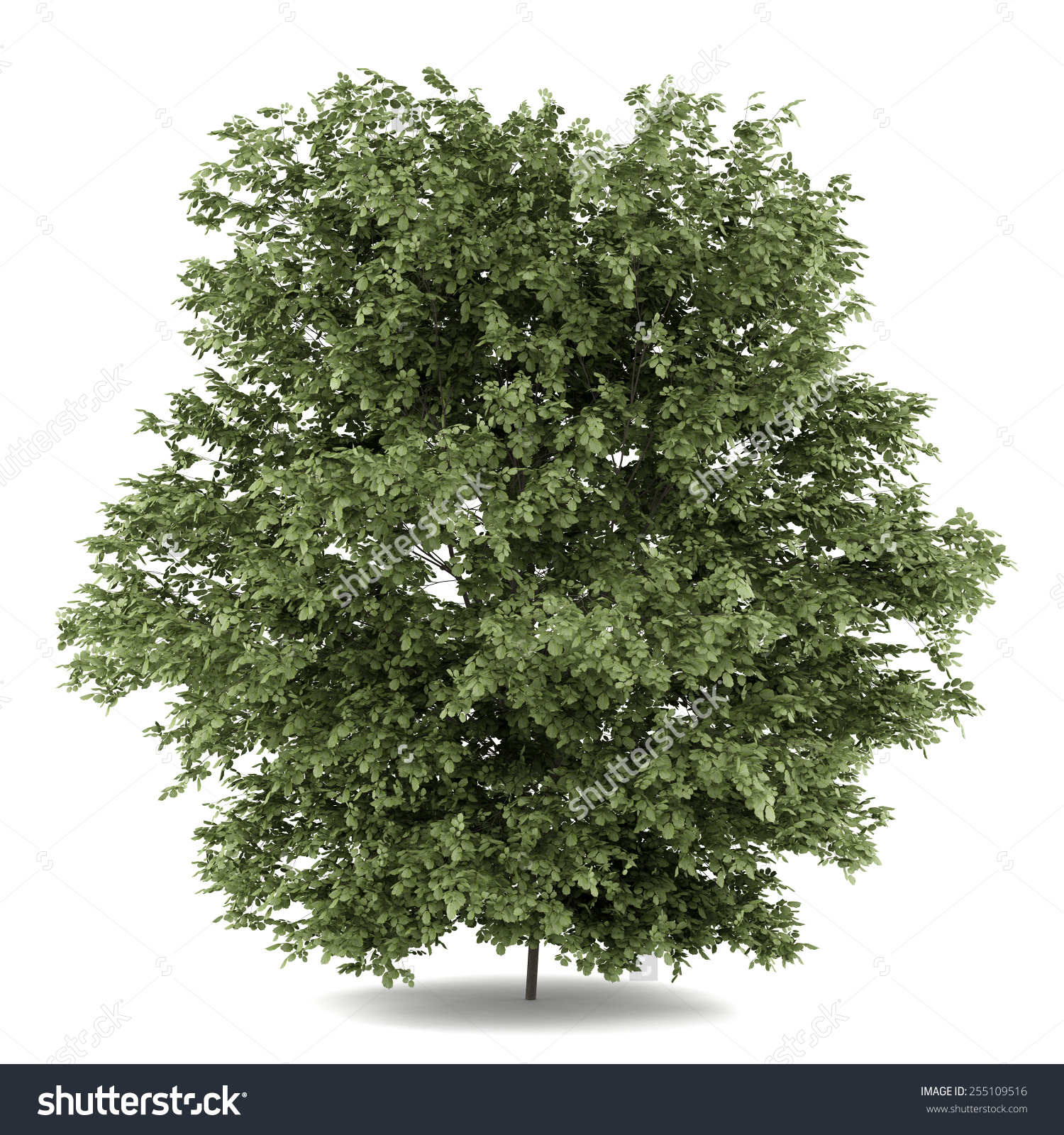 Common Hazel Tree Isolated On White Stock Illustration 255109516.