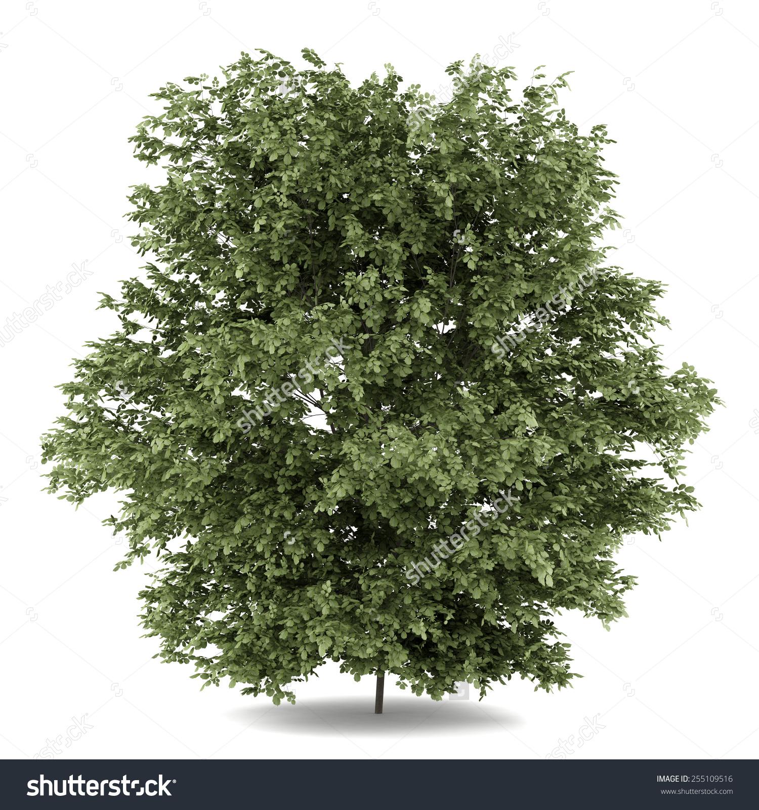 Common Hazel Tree Isolated On White Stock Illustration 255109516.