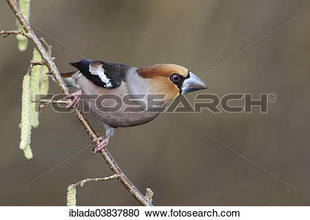 "Stock Photography of ""Hawfinch (Coccothraustes coccothraustes."