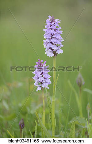 "Stock Image of ""Heath Spotted Orchid or Moorland Spotted Orchid."