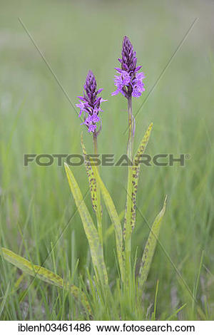 "Stock Images of ""Heath Spotted Orchid or Moorland Spotted Orchid."