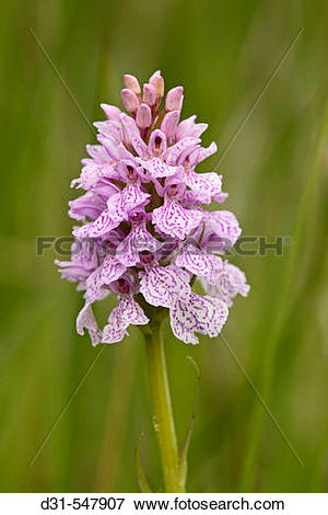 Picture of Heath Spotted Orchid, Dactylorhiza maculata, Grass.