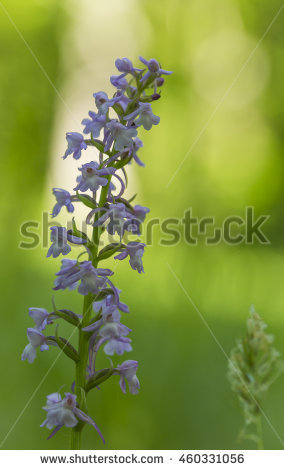 Common heath spotted orchid clipart #5