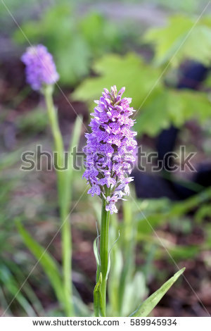 Common heath spotted orchid clipart #7