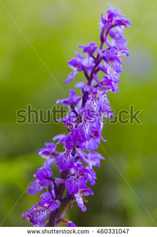 Common heath spotted orchid clipart #4