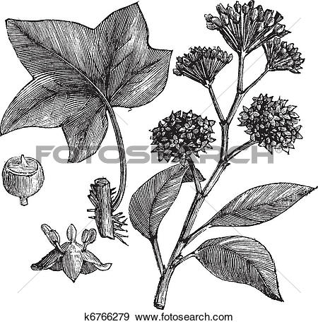 Clip Art of English ivy (Hedera helix) or Common ivy vintage.