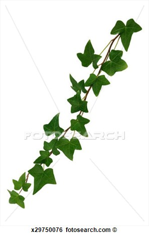 English ivy clipart.