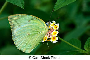 Stock Photography of Butterfly, Common Jezebel, Delias eucharis.