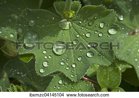 Stock Photo of Lady's mantle (Alchemilla), leaf with water.