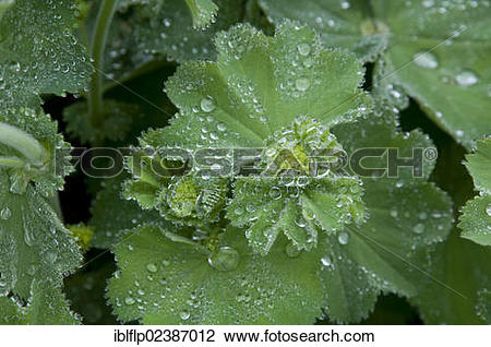 "Stock Photo of ""Lady's Mantle (Alchemilla vulgaris), close."