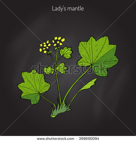 Tea Lady's Mantle Herb Stock Photos, Royalty.