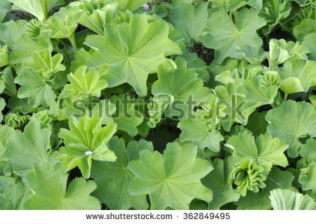 Lady's Mantle Stock Photos, Royalty.