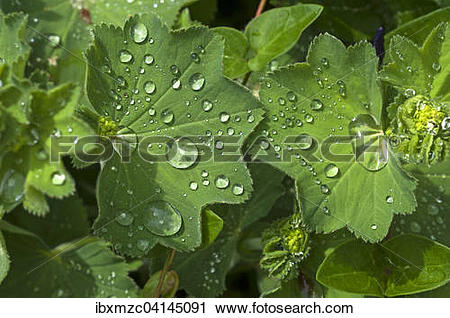 Stock Photography of Lady's mantle (Alchemilla), leaf with water.