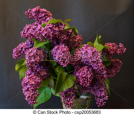 Pictures of purple common lilac (syringa) in vase on black.